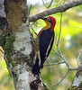 """Yellow-fronted Woodpecker <div id=""""caption_tourlink"""" align=""""right""""><br>[photo © guide Bret Whitney]</div>"""