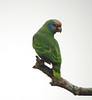 """Red-tailed Parrot <div id=""""caption_tourlink"""" align=""""right""""><br>[photo © guide Bret Whitney]</div>"""