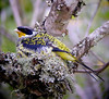 "Swallow-tailed Cotinga <div id=""caption_tourlink"" align=""right""><br>[photo © guide John Rowlett]</div>"