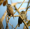 "White-barred Piculets <div id=""caption_tourlink"" align=""right""><br>[photo © guide John Rowlett]</div>"