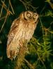 "Long-tufted Screech-Owl <div id=""caption_tourlink"" align=""right""><br>[photo © guide Bret Whitney]</div>"