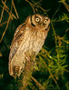 "Long-tufted Screech-Owl <div id=""caption_tourlink"" align=""right""><br>[photo © guide Bret Whitney]</div>"