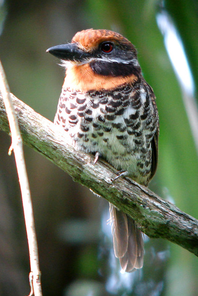 """Spotted Puffbird <div id=""""caption_tourlink"""" align=""""right"""">[photo © guide Bret Whitney]</div>"""