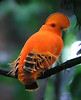 """Guianan Cock-of-the-Rock <div id=""""caption_tourlink"""" align=""""right"""">[photo © guide Dave Stejskal]</div>"""