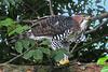 "Ornate Hawk-Eagle <div id=""caption_tourlink"" align=""right"">[photo © participant John Hardister]</div>"