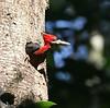 "Female Red-necked Woodpecker <div id=""caption_tourlink"" align=""right"">[photo © guide Dave Stejskal]</div>"
