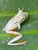 "Tree Frog <div id=""caption_tourlink"" align=""right"">[photo © participant John Hardister]</div>"