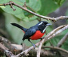 """Rose-breasted Chat  <div id=""""caption_tourlink"""" align=""""right"""">[photo © participant Paul Thomas]</div>"""