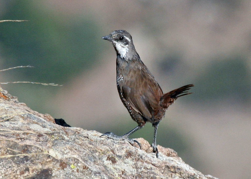 "Moustached Turca, Farellones    <div id=""caption_tourlink"" align=""right""> [photo © guide Alvaro Jaramillo]</div>"