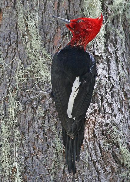 """Male Magellanic Woodpecker <div id=""""caption_tourlink"""" align=""""right""""> [photo © guide Alvaro Jaramillo]</div>"""