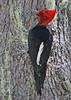 "Male Magellanic Woodpecker <div id=""caption_tourlink"" align=""right""> [photo © guide Alvaro Jaramillo]</div>"