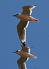 "Franklin's Gull in pink, Valparaiso    <div id=""caption_tourlink"" align=""right""> [photo © guide Alvaro Jaramillo]</div>"