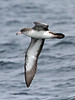 "Pink-footed Shearwater<div id=""caption_tourlink"" align=""right""> [photo © guide Alvaro Jaramillo]</div>"