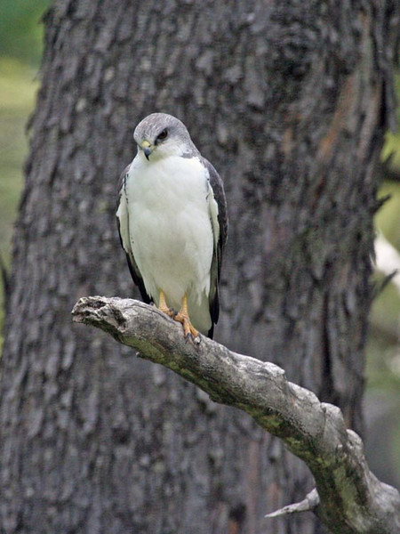 "Variable Hawk <div id=""caption_tourlink"" align=""right""> [photo © guide Alvaro Jaramillo]</div>"