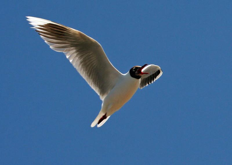 "Brown-hooded Gull, Cahuin, Chiloe    <div id=""caption_tourlink"" align=""right""> [photo © guide Alvaro Jaramillo]</div>"