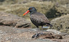 "Blackish Oystercatcher <div id=""caption_tourlink"" align=""right""> [photo © guide Alvaro Jaramillo]</div>"