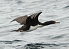 "Guanay Cormorant, Valparaiso    <div id=""caption_tourlink"" align=""right""> [photo © guide Alvaro Jaramillo]</div>"