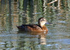 "Black-headed Duck, Batuco Lake.     <div id=""caption_tourlink"" align=""right""> [photo © guide Alvaro Jaramillo]</div>"