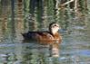 "Black-headed Duck, Batuco Lake.     <div id=""caption_tourlink"" align=""right""> [photo © guide Alvaro Jaramillo]</div>"