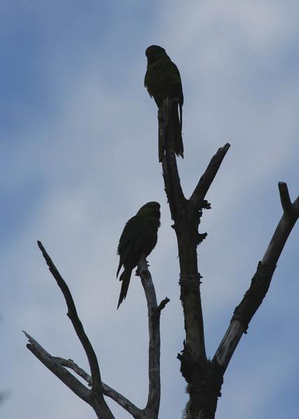 "Austral Parakeets, Antillanca    <div id=""caption_tourlink"" align=""right""> [photo © guide Alvaro Jaramillo]</div>"