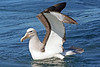 "Salvin's Albatross<div id=""caption_tourlink"" align=""right""> [photo © guide Alvaro Jaramillo]</div>"