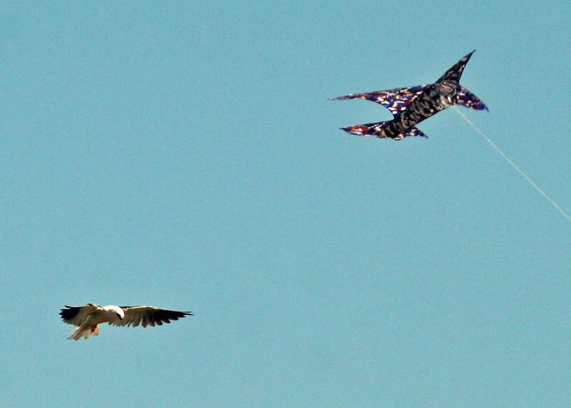 "Kites, Laguna Cartagena    <div id=""caption_tourlink"" align=""right""> [photo © guide Alvaro Jaramillo]</div>"