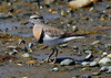 "Rufous-chested Dotterel, Cahuin, Chiloe    <div id=""caption_tourlink"" align=""right""> [photo © guide Alvaro Jaramillo]</div>"