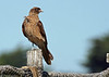 "Chimango Caracara, Cahuin, Chiloe    <div id=""caption_tourlink"" align=""right""> [photo © guide Alvaro Jaramillo]</div>"
