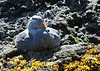 "Flightless Steamerduck, Puñuhuil, Chiloe    <div id=""caption_tourlink"" align=""right""> [photo © guide Alvaro Jaramillo]</div>"