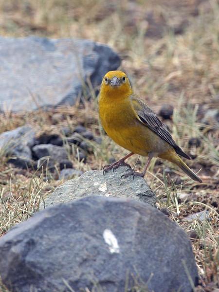 """Greater Yellow-Finch<div id=""""caption_tourlink"""" align=""""right""""> [photo © guide Alvaro Jaramillo]</div>"""