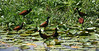 Wattled Jacanas gathered in a larger and larger flock, closer and closer to our group, as the Long-winged Harrier made pass after pass. (Photo by guide Megan Crewe)