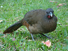 The local alarm clock at our Tobago hotel: a noisy Rufous-vented Chachalaca -- one of many! (Photo by guide Megan Crewe)