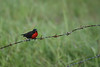 A male Red-breasted Blackbird makes a splash of color along the fence line at the agricultural research station. (Photo by guide Megan Crewe)