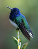 "This male White-necked Jacobin introduces another amazing set of tropical birds, the hummers. In a single morning at ASA Wright you may see more hummingbird species than exist in most of the US! They are also pretty attractive little guys.   <div id=""caption_tourlink"" align=""right"">[photo © participant Richard Stilwell]</div>"