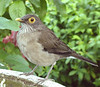 """Tobago also has great birds at the hotels, from motmots to this Bare-eyed Thrush. <div id=""""caption_tourlink"""" align=""""right"""">[photo © guide Alvaro Jaramillo]</div>"""