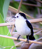 "ASA Wright is our base, but Trinidad is small enough that we can easily make trips to various parts of the island. These include several wetlands and open country sites where we find entirely different birds such as this Pied Water-Tyrant, a flycatcher. <div id=""caption_tourlink"" align=""right""> [photo © guide Megan Crewe]</div>"