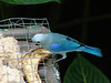 """The Blue-gray Tanager is one of the most widespread of open-country tanagers in South America. There are a great number of tanagers to enjoy in tropical America; some are rare, some are common, and practically all are colorful and attractive birds. This species is common, but even guides who have been to the tropics countless times love to drink in that first Blue-gray of the trip. You know you are somewhere special!   <div id=""""caption_tourlink"""" align=""""right"""">[photo © participant Dave Moore]</div>"""
