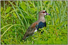 """Speaking of open country, here we see a Southern Lapwing. This species has recently colonized Trinidad and is still doing so on Tobago. It's a highly successfull, gorgeous, and new addition to the T&T list.  <div id=""""caption_tourlink"""" align=""""right""""> [photo © participant Dave Kutilek]</div>"""