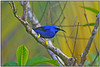 """Everyone's favorite place at ASA Wright is the veranda. The bird feeders here are legendary, not only for the gorgeous species which arrive, but the sheer number. This male Purple Honeycreeper gives you an idea of what we are talking about.   <div id=""""caption_tourlink"""" align=""""right""""> [photo © participant Dave Kutilek]</div>"""