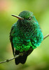"""If you are a hummingbird, you don't have to have a million colors to make a splash. This largely green Blue-chinned Sapphire can still make the average North American hummingbird feel a little insecure about its looks.   <div id=""""caption_tourlink"""" align=""""right"""">[photo © guide Alvaro Jaramillo]</div>"""