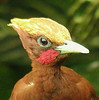 "Even the Chestnut Woodpecker makes an appearance here and there at the ASA Wright feeders. Look at that guy -- if this is not a tropical gem, we don't know what is.   <div id=""caption_tourlink"" align=""right""> [photo © guide Alvaro Jaramillo]</div>"
