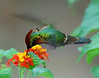 """The Tufted Coquette is a tiny hummingbird with what looks like a fancy scarf flailing behind its neck. It always reminds me of those old movies showing a scarf-clad actor in a speedy, open-cockpit roadster, zooming around the coast roads of Italy. Maybe to you it just looks like a good-looking hummingbird, which it surely is. But in real life it is quite a stunner, and shouts of """"the Coquette is here!!!!"""" get everyone's attention at the veranda.  <div id=""""caption_tourlink"""" align=""""right"""">[photo © participant Richard Stilwell]</div>"""