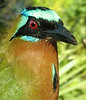 """Tropical bird groups represented include the motmots, such as this Blue-crowned, a widespread motmot species which may not get the well-traveled birder too excited. However, it is thought that this  population found on T&T may in fact be an endemic species different from other Blue-crowned Motmots. In other words, even the well-traveled birder has something different to see here! <div id=""""caption_tourlink"""" align=""""right""""> [photo © guide Alvaro Jaramillo]</div>"""