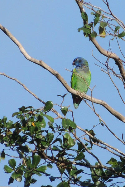 A Blue-headed Parrot, part of a little group which dropped in to some trees right up the road from where we were standing, surveys its surroundings. (Photo by guide Megan Crewe)