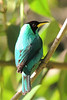 The handsome male Green Honeycreeper is really more of an iridescent turquoise. (Photo by guide Megan Crewe)