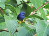 A male Purple Honeycreeper at rest is a rare treat.  (Photo by participant Dave Telford)