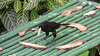 A Crested Oropendola checks out the fruit feeders at Asa Wright.  (Video by guide Megan Crewe)