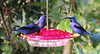 """Somehow, """"Purple"""" seems like such an understatement when you're talking about Purple Honeycreepers! (Photo by guide Megan Crewe)"""