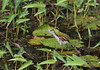 And an even younger, still downy, juvenile Watted Jacana (Photo by guide Eric Hynes)
