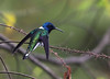 White-necked Jacobin (Photo by guide Eric Hynes)